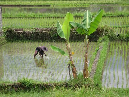 Pole ryżowe z okna Dupa Hotel