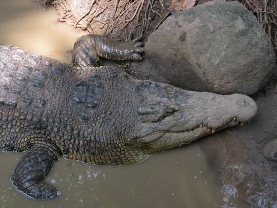Krokodylek