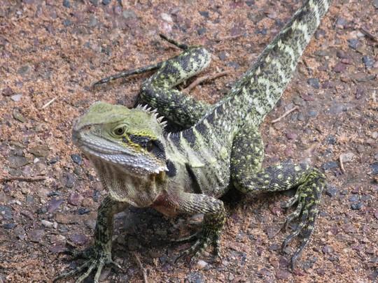 Iguana w Brisbane