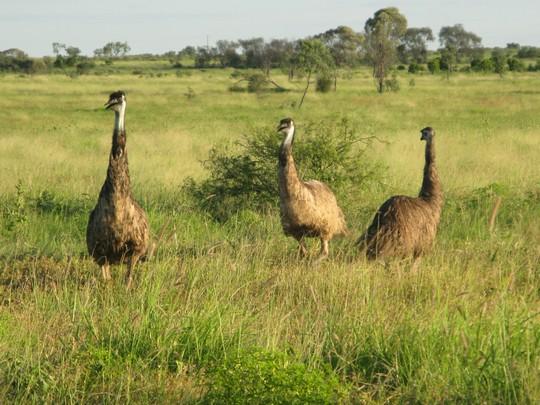 Strusie Emu