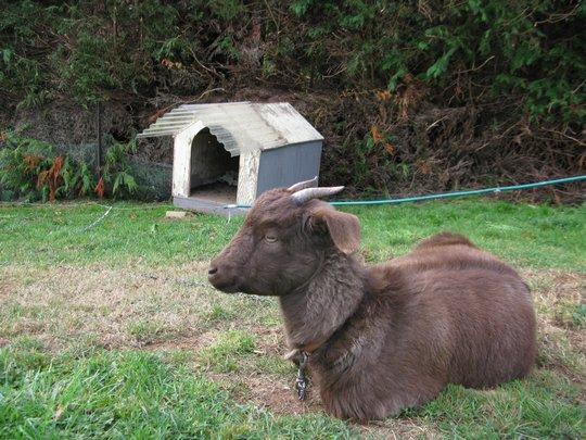 Koza domowa :-)
