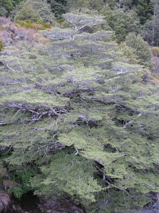 Drzewa nad Taranaki