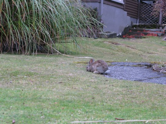 Króliczek w Whakapapa