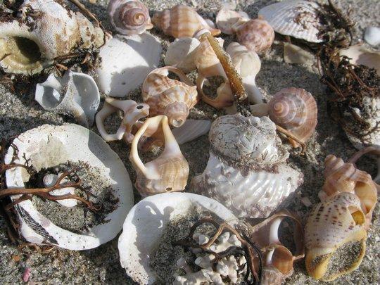 Muszle na plaży Papamoa